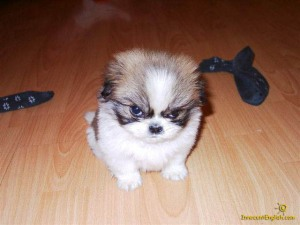 cute-angry-puppy-pic55