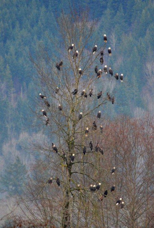 eagle-tree3